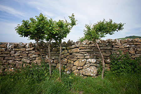 a tree beyoind a wall in Dorset